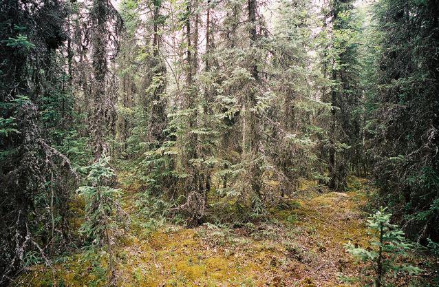 Alsaka Forest